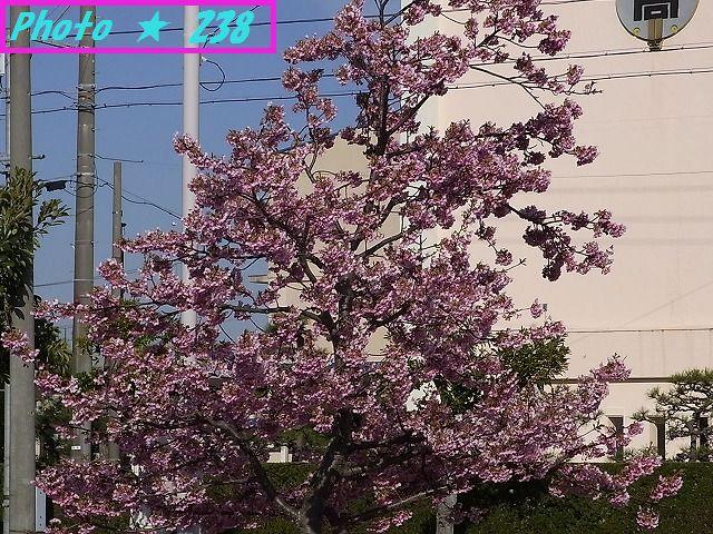 公園の河津桜②
