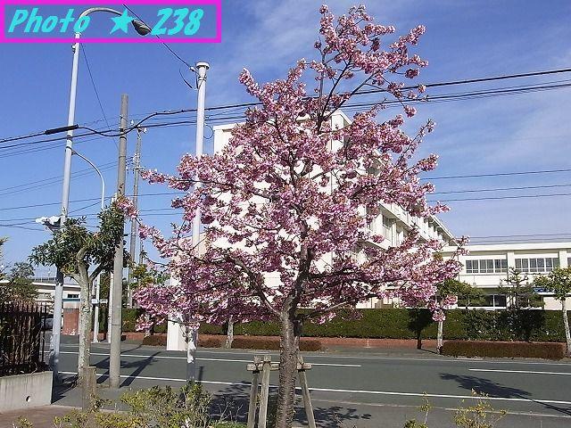 公園の河津桜④