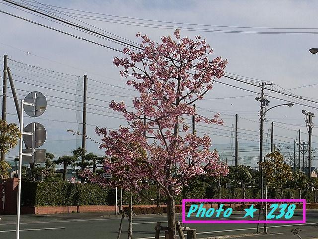 公園の河津桜⑤