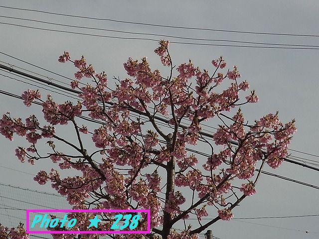 公園の河津桜⑥