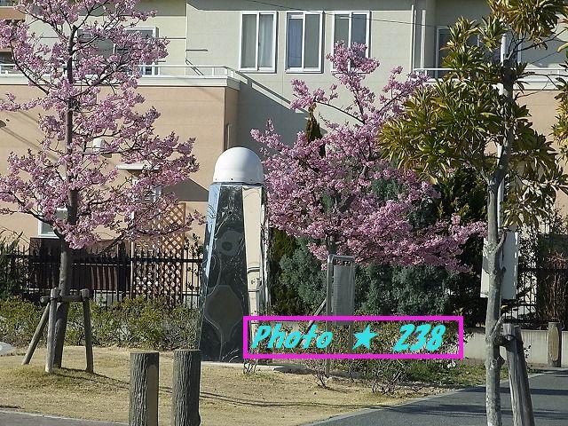 公園の河津桜⑦