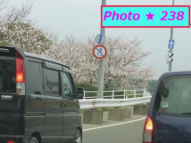 道路際の桜