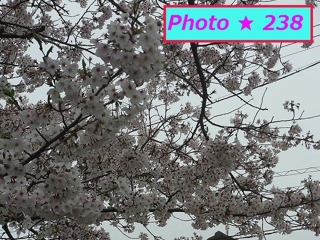 公園の満開桜①