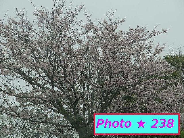 公園の満開桜⑤