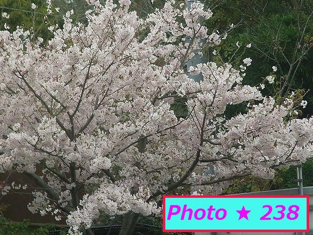 公民館の桜