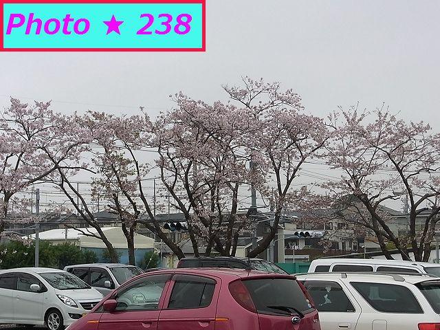 某ドラックストアの回りの桜