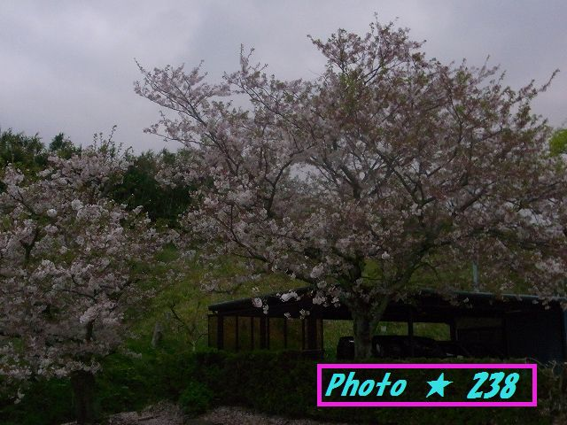 帰る途中に咲いていた桜の木