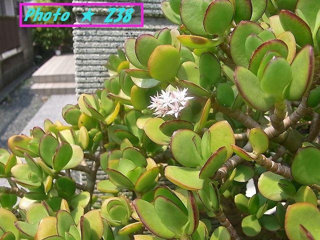 金のなる木の雄花②