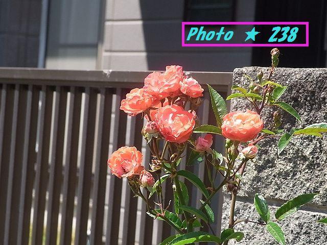 我が家の薔薇②