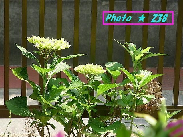 大きくなって来た紫陽花の花