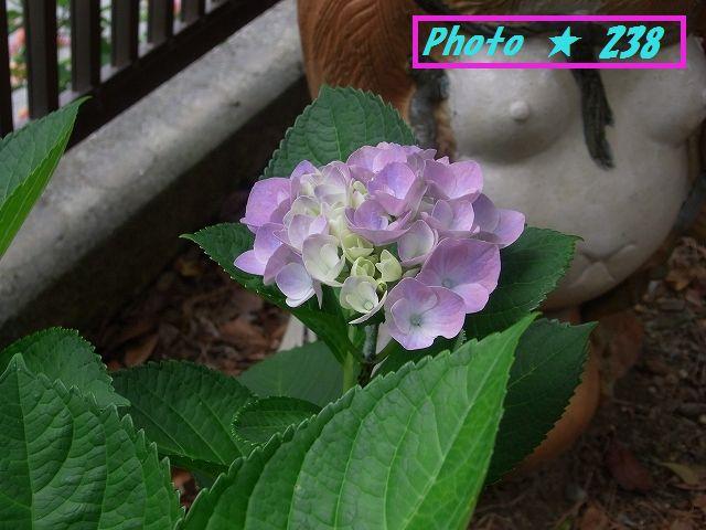 我が家の紫陽花1