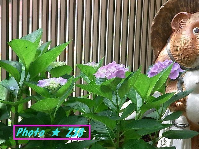 送った紫陽花。