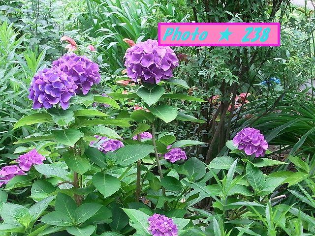 隣の紫色紫陽花