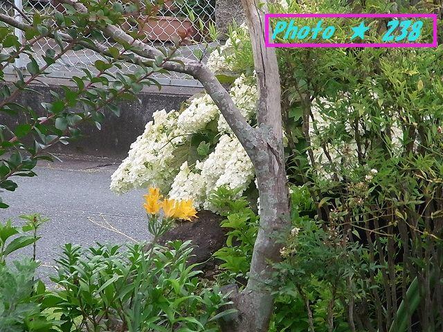 隣の白い紫陽花