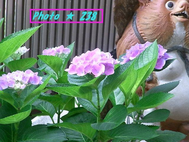 プレゼントの紫陽花。