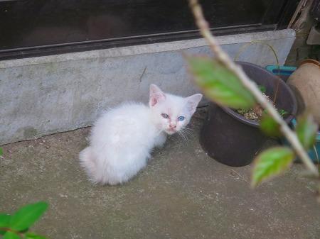 オッドアイの白い子猫