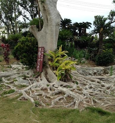 ガジュマルの根