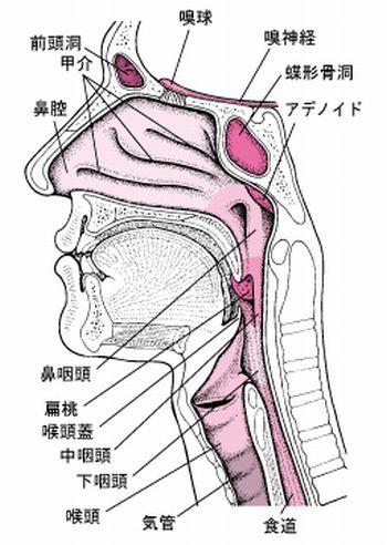 鼻とのどの構造