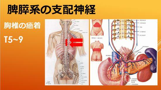 すい臓と脾臓の支配神経