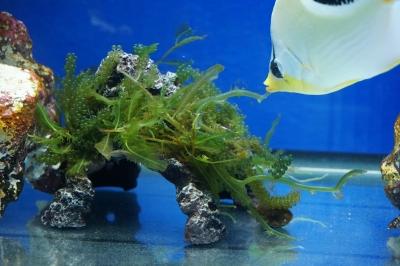 海藻レプリカロック1_20150122