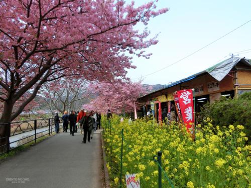 河津桜まつり2015_02