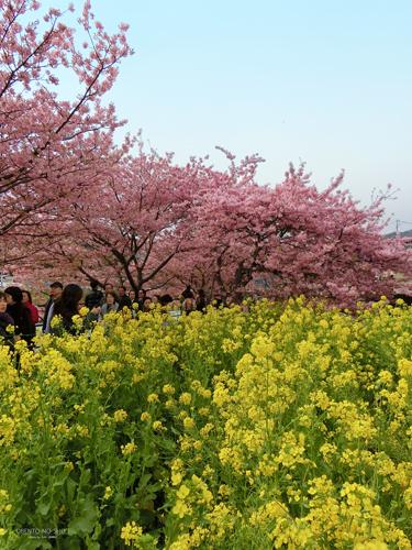 河津桜まつり2015_01