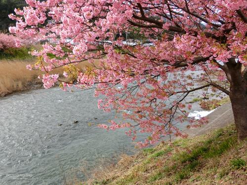 河津桜まつり2015_03