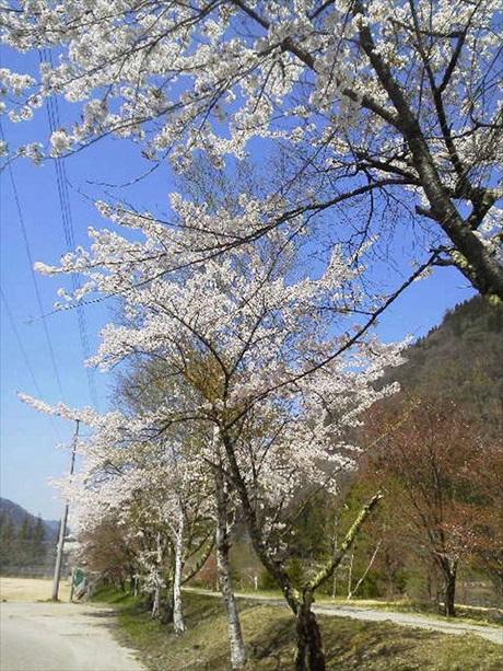 桜満開_R