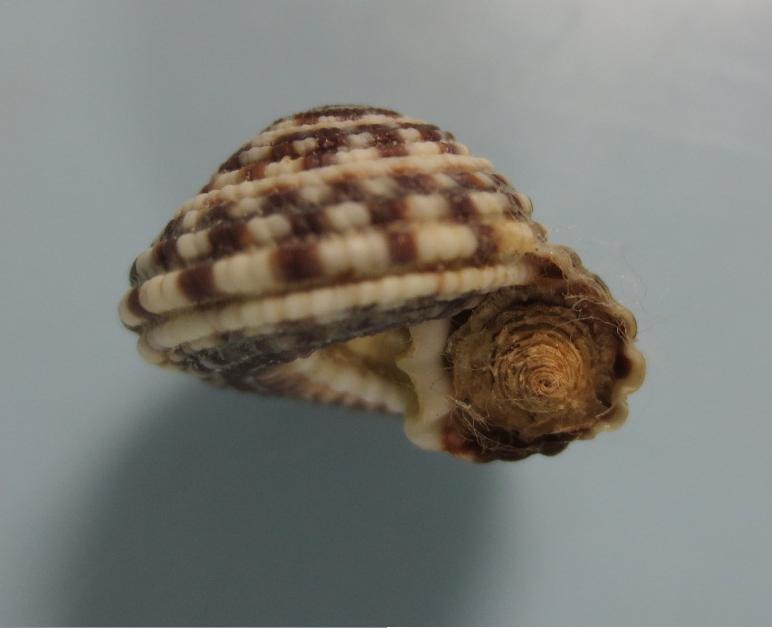 コシダカナワメグルマ