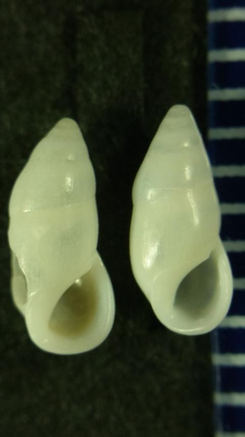イサカイクリムシチョウジガイ