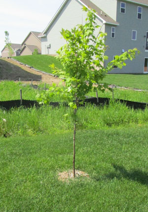 treering1501.jpg