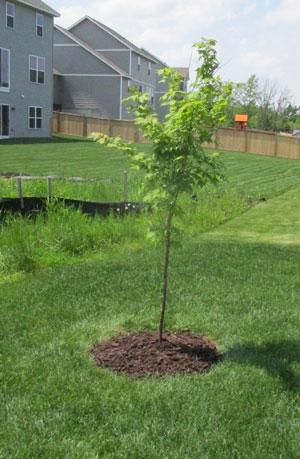 treering1505.jpg