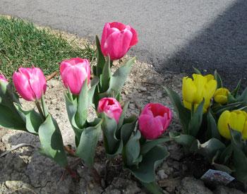 tulips041515.jpg