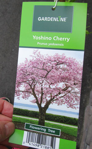 yoshinocherry2.jpg