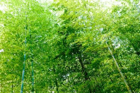 bamboo_sasa423532.jpg
