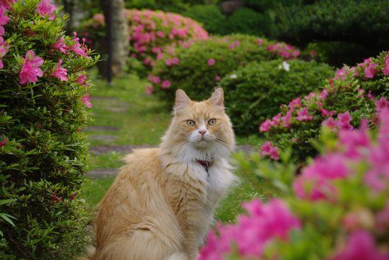 サツキの庭