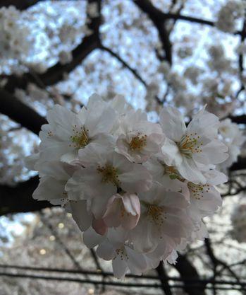 ノーマル桜