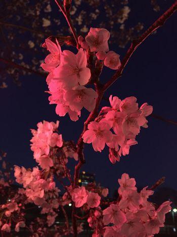 やっぱりエロ桜