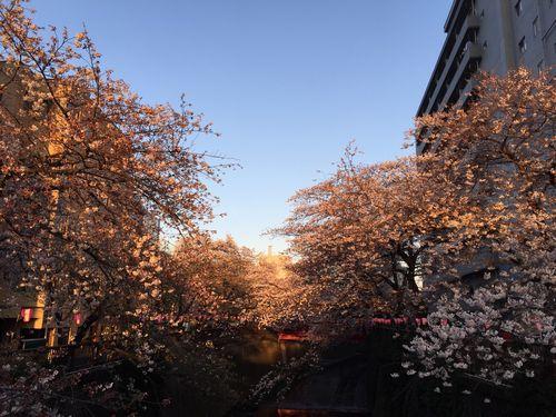 夕焼けの桜