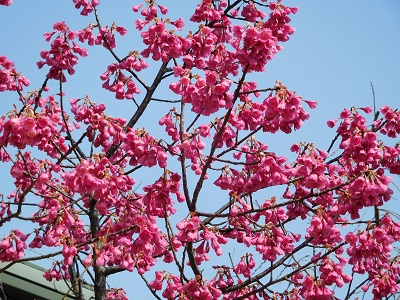 寒緋桜2105