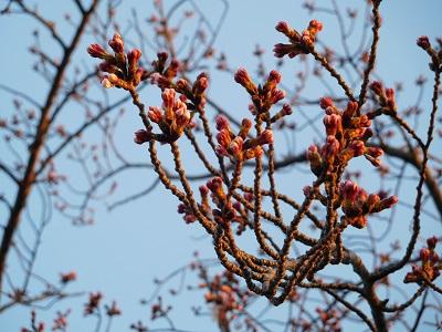 桜もう少し1