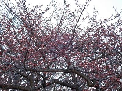 桜もう少し2