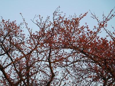 桜もう少し4