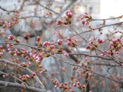桜もう少し5