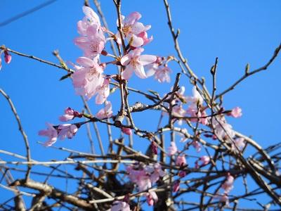 枝垂れ桜2015T