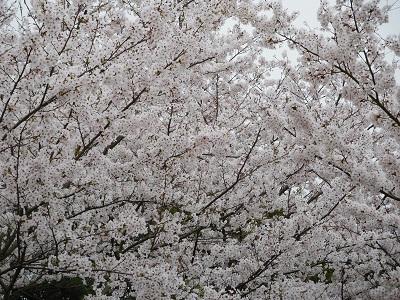 桜2015-7