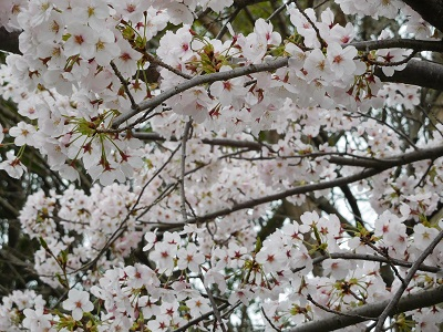 桜2015-9