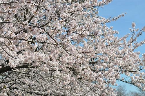 2015桜8
