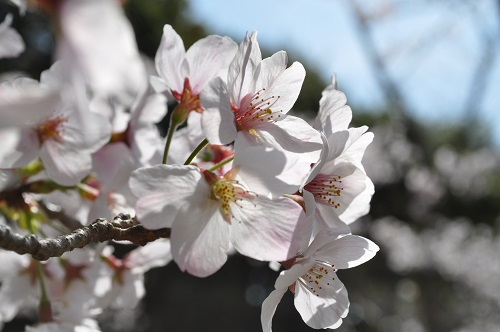 2015桜12