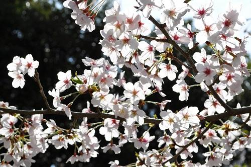 2015桜13